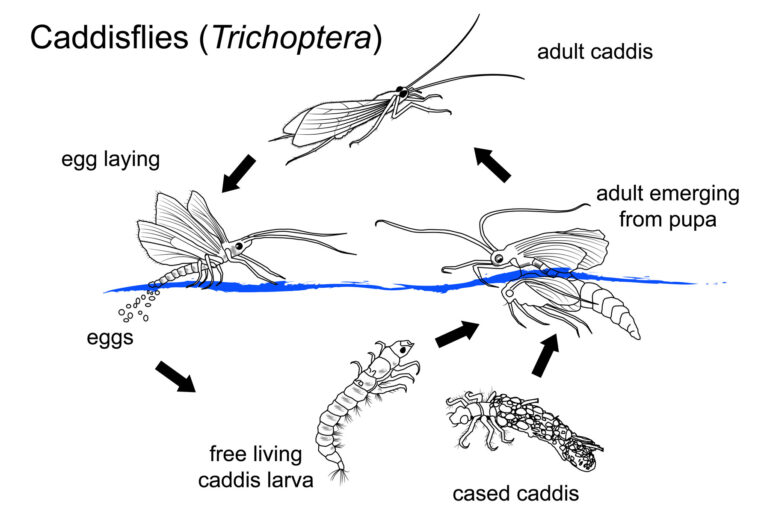How to Choose the Correct Fly – Part 2 – Caddis Flies (Trichoptera/Sedge)