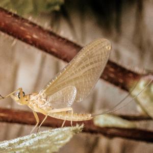 Know Your Fish Food – Part 5 – Yellow May Dun (Heptagenia Sulphurea)