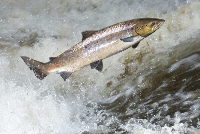 Wales Salmon Protection Emergency Byelaws 2019