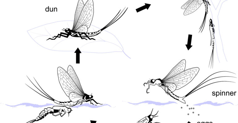 How to Choose the Correct Fly – Part 1 – Upwings (Ephemeroptera)