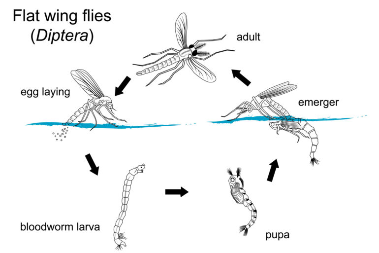 How to Choose the Correct Fly – Part 3 – Flat-Winged (Diptera)