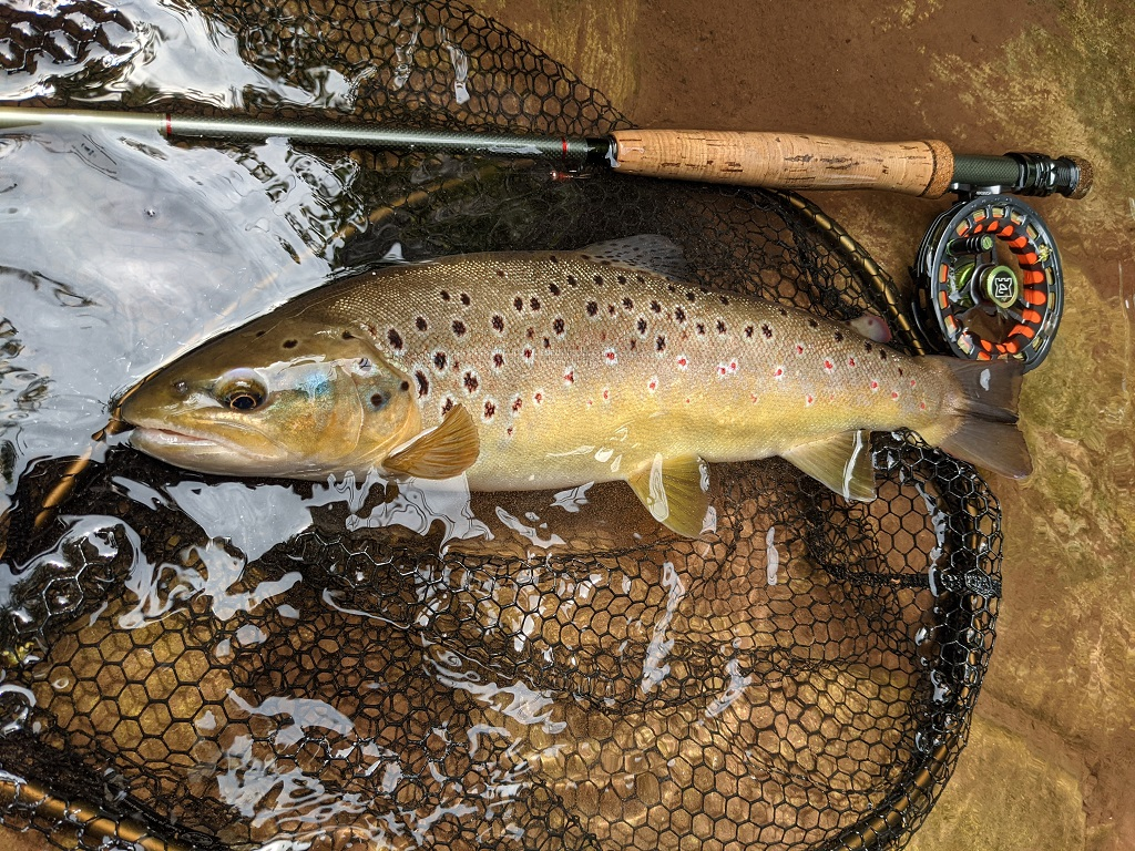 trout in the net